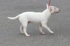 Crabot de bull-terrier Image stock
