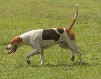 Crabot de chasse anglais de flèche indicatrice Photo libre de droits