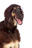 Crabot de chien Arabe avec des glaces Image libre de droits