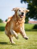 Crabot de chien d'arrêt d'or Images stock