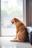 Crabot de chien d'arrêt d'or Photographie stock libre de droits