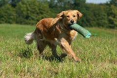 Crabot de chien d'arrêt d'or Photos libres de droits