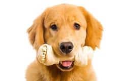 Crabot de chien d'arrêt d'or avec un os de mastication de cuir vert photographie stock