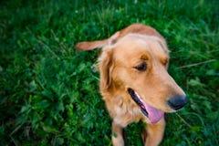 Crabot de chien d'arrêt d'or Chien magnifique se couchant sur l'herbe, avec la langue collant  Photographie stock libre de droits