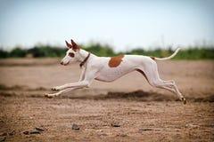 Crabot de chien d'Ibizan Photographie stock