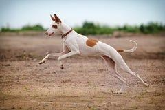 Crabot de chien d'Ibizan Photo stock