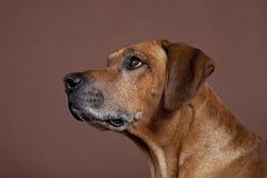 Crabot de chien de Rhodesian Ridgeback Images libres de droits