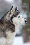 Crabot de chien de traîneau sibérien Photographie stock libre de droits