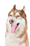 Crabot de chien de traîneau sibérien baîllant Photo stock