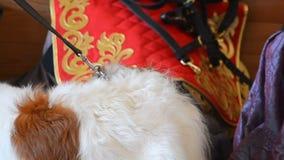 Crabot de chien russe banque de vidéos