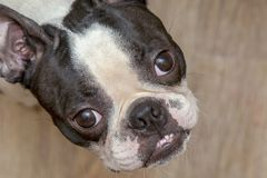 Crabot de chien terrier de Boston recherchant image stock