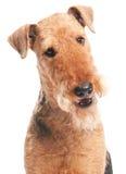 Crabot de chien terrier d'Airedale d'isolement Photos libres de droits