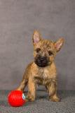 Crabot de chien terrier de cairn Photo libre de droits