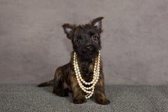 Crabot de chien terrier de cairn Image libre de droits