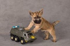 Crabot de chien terrier de cairn Image stock