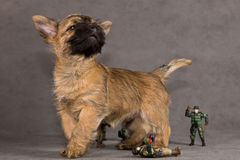 Crabot de chien terrier de cairn Photos stock