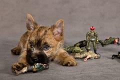 Crabot de chien terrier de cairn Photos stock