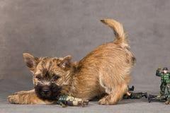 Crabot de chien terrier de cairn Images libres de droits