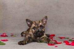 Crabot de chien terrier de cairn Images stock
