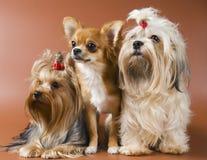 Crabot de chien terrier, de chiwawa et de genoux de Yorkshire de race Photographie stock libre de droits