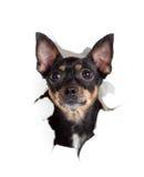 Crabot de chien terrier de jouet en trou déchiré par côté de papier Images stock