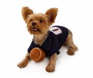 Crabot de chien terrier de Yorkshire avec le football Image libre de droits
