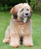 Crabot de chien terrier tibétain Images stock