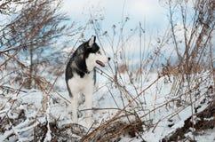 Crabot de chien de traîneau sibérien Images stock