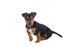 Crabot de chiot Photo stock
