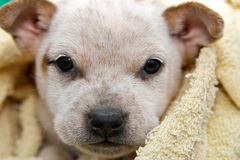 Crabot de chiot de chien terrier de Fox Photos libres de droits