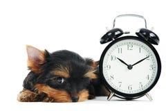 Crabot de chiot de chien terrier de Yorkshire Photographie stock libre de droits