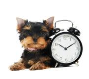 Crabot de chiot de chien terrier de Yorkshire Images libres de droits