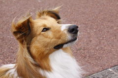 Crabot de colley de Sheltie Photo libre de droits