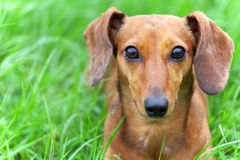 Crabot de Dachshund en stationnement photo stock