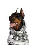 Crabot de Dobermann dans le kufiya noir Images libres de droits