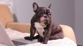 Crabot de fonctionnement Le chien mignon travaille sur un ordinateur portable argenté Race de chien : bouledogue français banque de vidéos