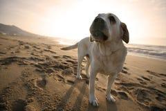 Crabot de Labrador Photos libres de droits