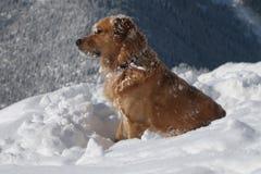 Crabot de Labrador Photographie stock libre de droits