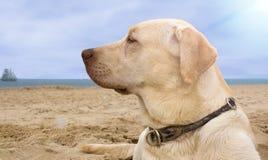 Crabot de Labrador Image stock