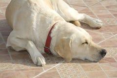 Crabot de Labrador Image libre de droits