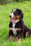 Crabot de montagne de Bernese de chiot Photo stock