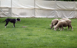 Crabot de moutons au travail Images libres de droits