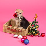 Crabot de Noël décorant l'arbre d'an neuf Images libres de droits