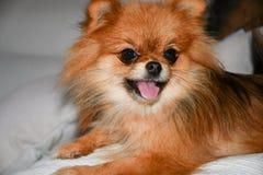 Crabot de Pomeranian photos stock