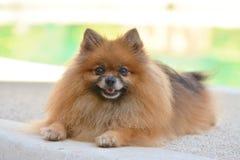 Crabot de Pomeranian Photos libres de droits