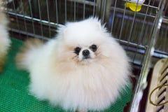 Crabot de Pomeranian Images libres de droits