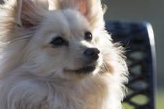 Crabot de Pomeranian Images stock