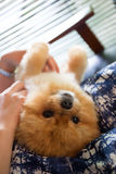 Crabot de Pomeranian Photo libre de droits