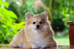 Crabot de Pomeranian Photographie stock libre de droits