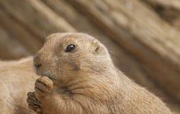 Crabot de prairie à queue noire Images libres de droits